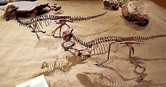 Judith River Formation - Stegoceras