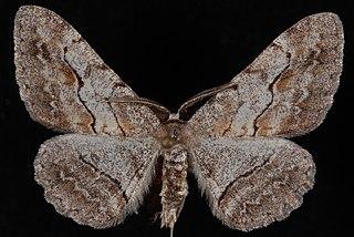 <i>Stenoporpia pulmonaria</i> species of insect
