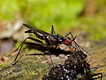 Stilt-legged Fly (Micropezidae) feeding on unknown dropping (15534810935).jpg