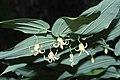 Streptopus amplexifolius 6624.JPG