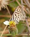 Striped Pierrot Tarucus nara UN Asola Bhatti WLS Delhi by Dr Raju Kasambe (1).jpg
