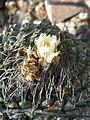 Strombocactus disciformis (5780139397).jpg