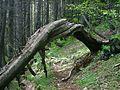 Stromova brana - samorost v pohori Komovi.jpg