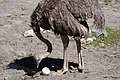 Struthio camelus -Wellington Zoo, New Zealand -female and egg-8a.jpg