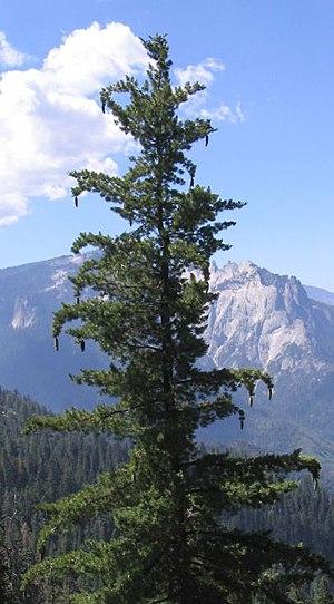 Pinus lambertiana - Image: Sugar Pine