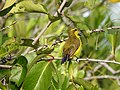 Sulawesi sunbird trsr DSCN0846 v1.JPG