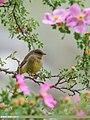 Sulphur-bellied Warbler (Phylloscopus griseolus) (35743922866).jpg