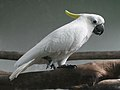 Sulphur-crested Cockatoo SMTC.jpg