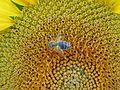 Sun flower - panoramio (1).jpg
