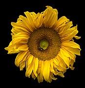 Sunflower and a bee.jpg