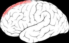 Superior frontal gyrus.png