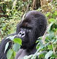 Susa group, mountain gorillas - Flickr - Dave Proffer (16).jpg