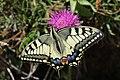 Swallowtail - Papilio machaon (20151169169).jpg