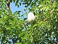 Swietenia mahagoni Boynton Beach starr-090924-5919.jpg