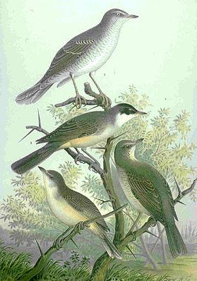 unten: Orpheusgrasmücke (Sylvia hortensis)