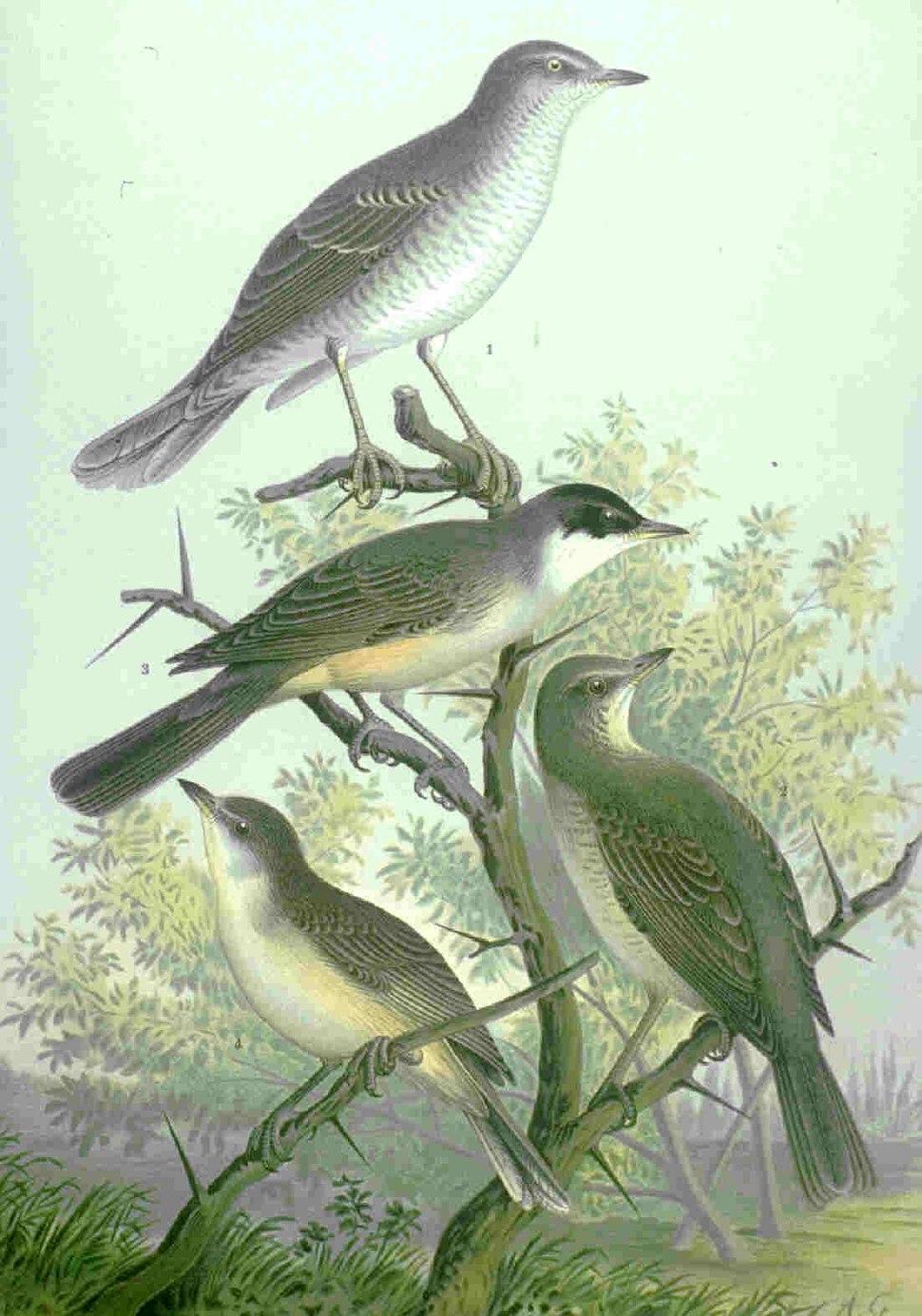 Sylvia nisoria hortensis naumann