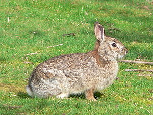 Brush rabbit - Brush rabbit (Finley National Wildlife Refuge)