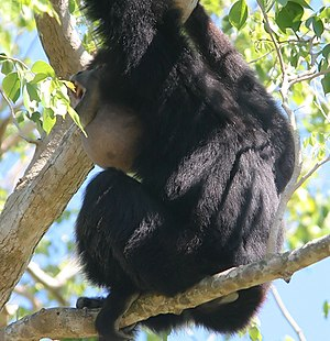 Siamang - Siamang calling with throat sac inflated
