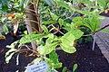 Synsepalum dulcificum-Jardin botanique de Berlin (2).jpg