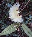 Syzygium Munronii 17.JPG