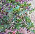 Syzygium cordatum fruit.jpg