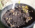 Syzygium francisii germinating.JPG