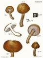 Tab37-Agaricus aurantius Schaeff.png