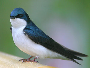 Tachycineta - Tree swallow (Tachycineta bicolor)