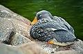 Tachyeres pteneres (Fuegian Steamer Duck - Magellan-Dampfschiffente) - Weltvogelpark Walsrode 2012-01.jpg