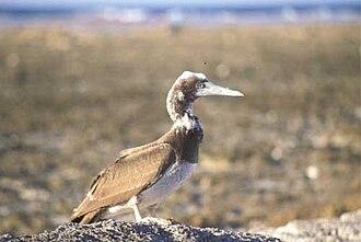 Takutea - An older juvenile brown booby on Takutea Island