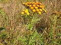 Tanacetum vulgare (4536293353).jpg
