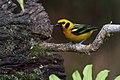 Tangara arthus-Golden Tanager.jpg