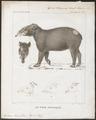 Tapirus roulinii - 1700-1880 - Print - Iconographia Zoologica - Special Collections University of Amsterdam - UBA01 IZ22000281.tif