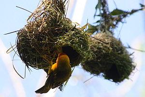Taveta Golden-weaver (Ploceus castaneiceps) ne...