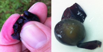 Maceration (wine) - An example of the difference between a red fleshed teinturier grape (Agria left) and a red wine grape variety with its skin peeled off to show that its flesh and juice is naturally white (Grenache right). The vast majority of red wine grapes are like the Grenache on the right with the red color of wine coming from skin contact during winemaking.