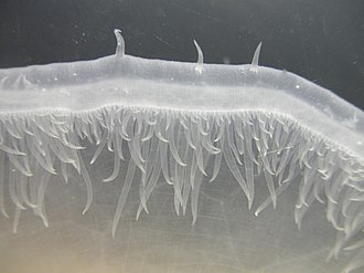 Tethys fimbria velum detail.jpg