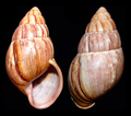 Thaumastus flori shell.png