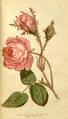 The Botanical Magazine, Plate 69 (Volume 2, 1788).png