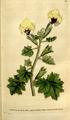 The Botanical Magazine, Plate 87 (Volume 3, 1790).png