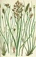 The British grasses and sedges (1858) (14783859453).jpg