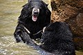 The Himalayan black bear (Ursus thibetanus) is a rare subspecies of the Asiatic black bear. 18.jpg