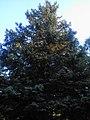 The big blue spruce. July 2013. - Большая голубая ель. Июль 2013. - panoramio.jpg