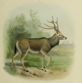 The deer of all lands (1898) Père David's deer.png