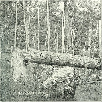 Culp's Hill - Effect of shot and shell on trees at Culps Hill.
