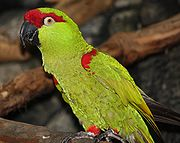 Thick-billed Parrot 054
