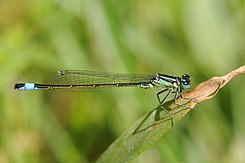 Thomas Bresson - Agrion élégant (by).jpg