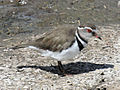 Three-banded Plover RWD5.jpg