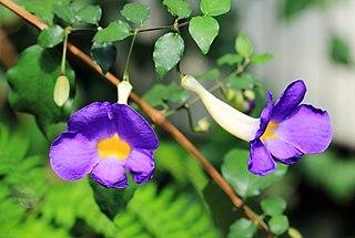 <i>Thunbergia erecta</i> species of plant
