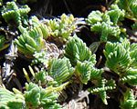 Le foglie Thymus leucotrichus