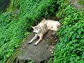 Tibetan Wolf at Padmaja Naidu Himalayan Zoological Park.jpg